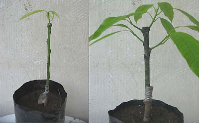 mango bark grafting