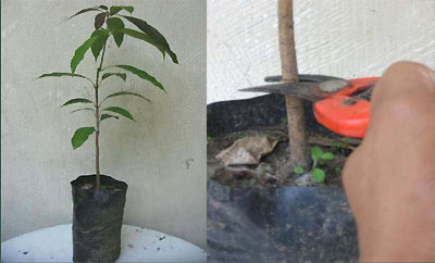 mango bark grafting